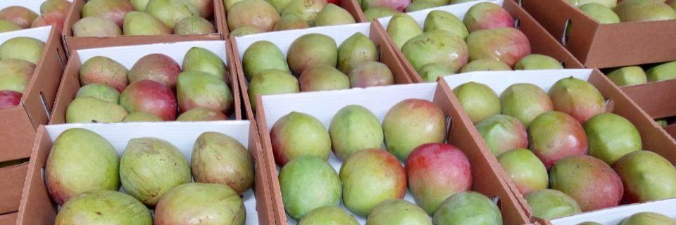 Fresh Organically Grown Mangos