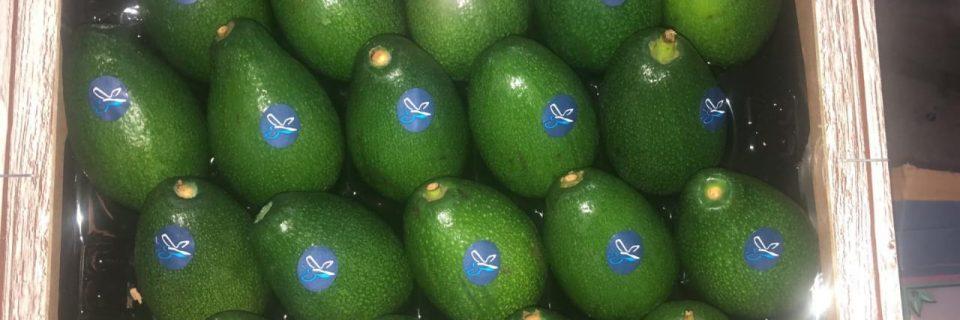 Fresh Organically Grown Avocadoes